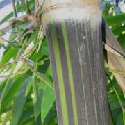 PHOTO OF BLACK ASPER BAMBOO: GIANT BLACK BAMBOO WITH WHITE BANDS AND GREEN STRIPES