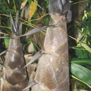 PHOTO OF SHOOTS OF BLACK ASPER BAMBOO: LARGE, QUALITY BAMBOO SHOOTS