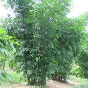 PHOTO OF DENDROCALAMUS ASPER HITAM: BLACK ASPER BAMBOO