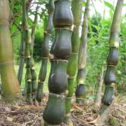 PHOTO OF BUDDHA BELLY BAMBOO SHOOTS